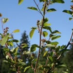 amelanchier_alnifolia_fruit (2)