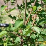 amelanchier_alnifolia_fruit (3)