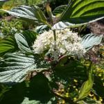 cornus_stolonifera_flower (2)