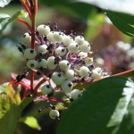 cornus_stolonifera_fruit (2)