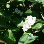 craetageus_douglasii_flower2