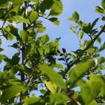 craetageus_douglasii_fruit2