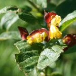 lonicera_involucrata_flower (2)