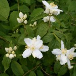 philadelphus_lewisii_flower (2)