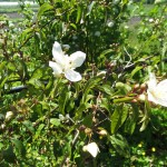 philadelphus_lewisii_flower