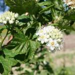 physocarpus_capitatus_flower