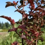 physocarpus_opulifolius_fruit (2)