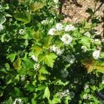 physocarpus_capitatus_white_flower