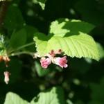 ribes_sanguineum_flower (2)