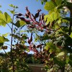 ribes_sanguineum_fruit (4)
