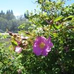 rosa_nutkana_flower