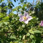 rosa_nutkana_flower (3)