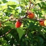 rubus_spectabilis_fruit