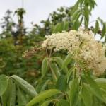 sambucus_cerulea_flower