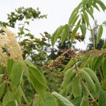 sambucus_cerulea_fruit