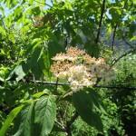 sambucus_racemosa_flower