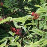 sambucus_racemosa_fruit
