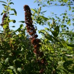 spiraea_douglasii_fruit (2)