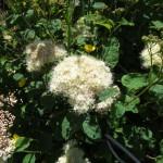 spiraea_flower