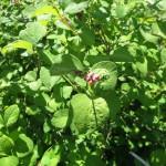 symphocarpus_albus_flower
