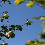 symphocarpus_albus_fruit