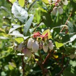 vaccinium_corymbosum_flower