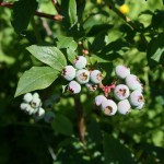 vaccinium_corymbosum_fruit