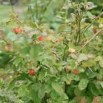 vaccinium_parvifolium_fruit