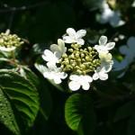 viburnum_plicatum_flower